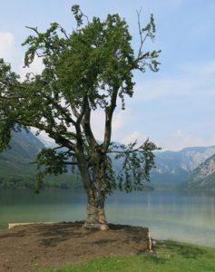 Znamenita Bohinjska bukev znova zeleni